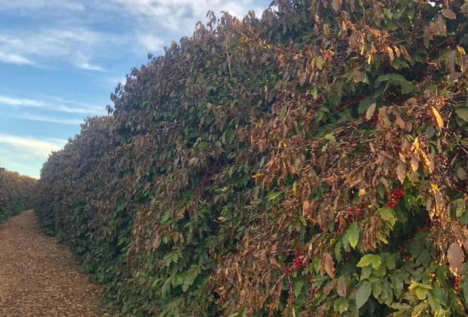 Nachtvorst treft koffie gebieden Brazilië